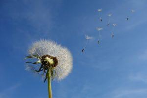 風になびくタンポポの綿毛
